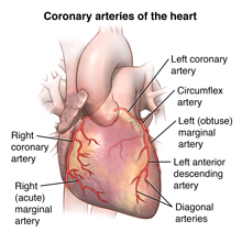 Front view of heart showing coronary arteries.